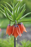 Crown imperial - detail Royalty Free Stock Photography