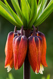 Crown Imperial Flower - Kaiserkrone Stock Image