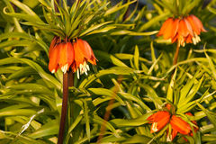 Crown Imperial flowers. A close up of the Crown Imperial flower or the Fritillaria with orange blooms Royalty Free Stock Image