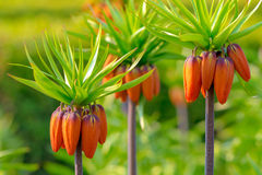 Crown imperial flowers (Fritillaria imperialis). Three Orange Crown imperial flowers early summer (Fritillaria imperialis Stock Photo