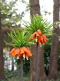 Crown imperial (fritillaria imperialis) Stock Photo