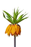 Crown imperial, Fritillaria imperialis Royalty Free Stock Photography