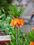 Crown imperial, fritillary flower - Fritillaria imperialis Royalty Free Stock Photos