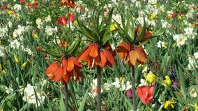 Crown imperial or imperial fritillary Fritillaria imperialis ornamental plant, lily family flower, blooming red