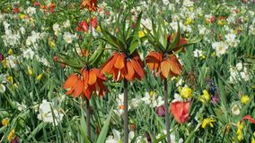 Crown imperial or imperial fritillary Fritillaria imperialis ornamental plant, lily family flower, blooming red. Expressive flowers with onion in the tuber royalty free stock photo