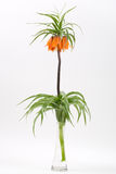 Crown imperial on a white background Stock Photos