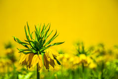 Crown imperial yellow flower Stock Photography