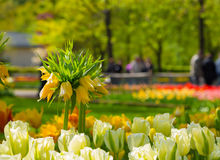 Crown imperial yellow flower in a bed of tulips Royalty Free Stock Photo