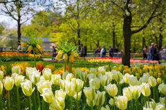 Crown imperial yellow flower in a bed of tulips Stock Image