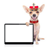 Crown king dog Stock Photo