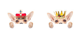 Crown king dog stock image