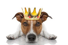 Crown king dog. Jack russell dog as king with crown looking and staring at you ,while lying on the ground or floor, isolated on white background stock photography