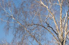 Crown of leafless trees against a blue sky in winter Park.  stock photos