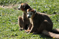 The crown lemur Royalty Free Stock Image
