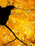 The crown of maple tree in autumn, bright Golden foliage on sky Royalty Free Stock Photos