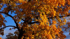 Crown of maple tree in autumn. Crown of maple tree in sunny day in autumn stock footage