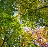 Crown of oak trees in autumn Stock Image