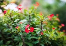 Crown Of Thorns, Christ Thorn Royalty Free Stock Photography