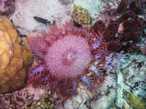 Free Crown-of-thorns Starfish View Royalty Free Stock Photos - 88654028