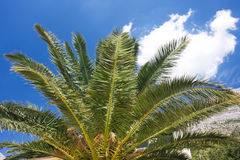 Crown of palm. Against blue sky Stock Photography