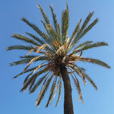 Crown of a palm tree. In the autumn sun Stock Images
