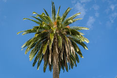 Crown of a palm tree Royalty Free Stock Photography