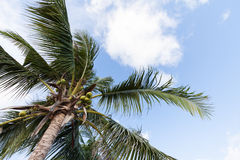 Crown of a palm tree of coconut Royalty Free Stock Images