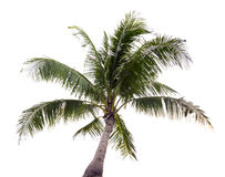 Crown of a palm tree of coconut isolated Royalty Free Stock Photos