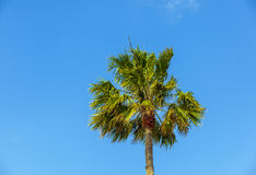 Crown of palm tree Royalty Free Stock Photo