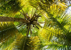 Crown of palm tree Royalty Free Stock Images