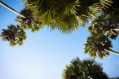 Crown of palm trees. Royalty Free Stock Image