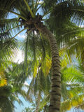 The crown of the palm trees against the sky. Stock Photo