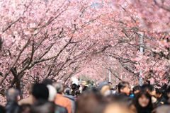 Crown People Surrounded Cherry Blossom Trees in Daytime Stock Photography