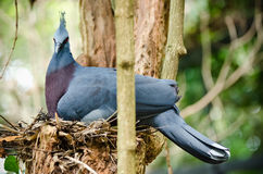 Crown Pigeon Stock Images