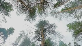 Crown of pine against the sky slow motion video. Cloudy summer day crowns of pine trees against the sky slow motion video stock footage