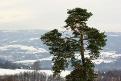 Crown pine - tree. With landscape Stock Photography