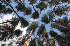 Crown of the pine trees. Wild beauty of the pine tree crowns Stock Photos