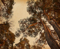 Crown of pine  trees in beautiful  evening light. Royalty Free Stock Photo