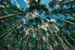 Crown of pine trees and clouds Royalty Free Stock Photography
