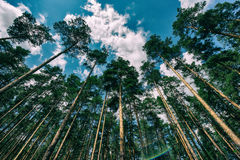 Crown of pine trees and clouds Royalty Free Stock Image