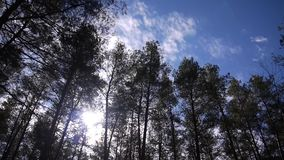 Crown of pine trees stock video