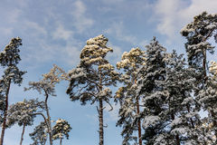 Crown of pine trees Stock Image