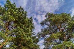 Crown of pine trees under blue sky . Crown of pine trees under blue sky , bottom view Stock Photography