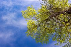 Crown poplar with fresh young foliage royalty free stock images