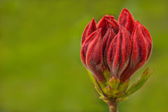 A crown of red flower. On blurred grass as background Stock Photo
