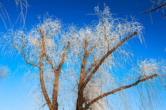 The crown with rime in blue sky Stock Photography
