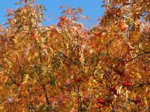 Crown of Rowan in autumn. Yellow leaves and red berries. Autumn royalty free stock photography