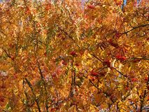 Crown of Rowan in autumn. Yellow leaves and red berries. Autumn royalty free stock image