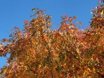 Crown of Rowan in autumn. Yellow leaves and red berries. Autumn royalty free stock photos