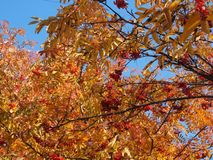 Crown of Rowan in autumn. Yellow leaves and red berries. Autumn stock photography